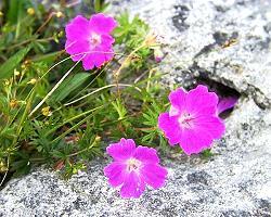 Les fleurs de la région du Burren